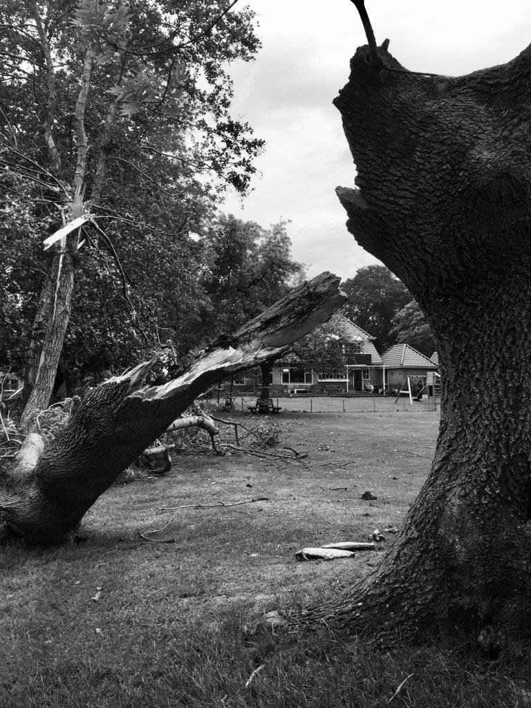 Oude boom gesneuveld tijdens voorjaarsstorm 2019
